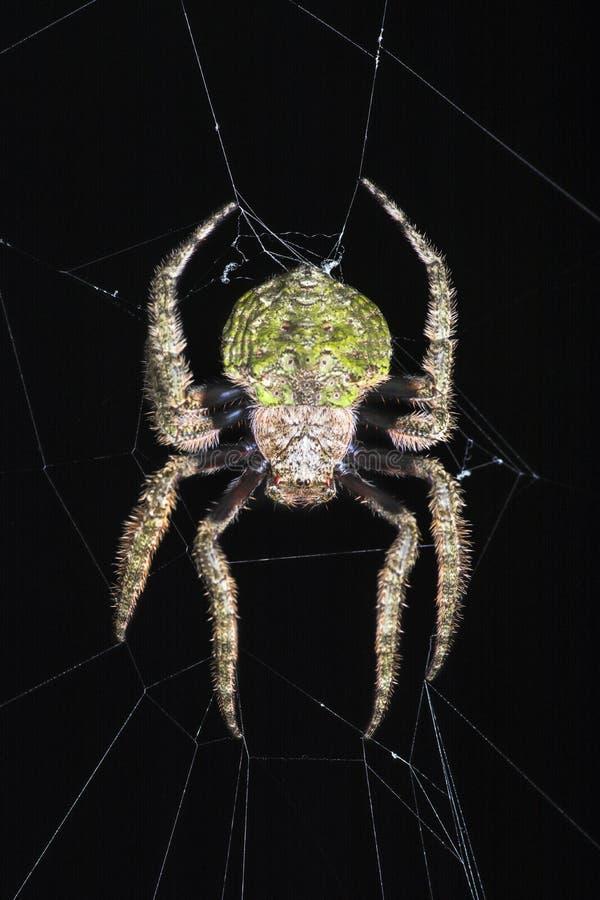 Orb-rengöringsduk spindlar (familjen Araneidae) arkivbilder