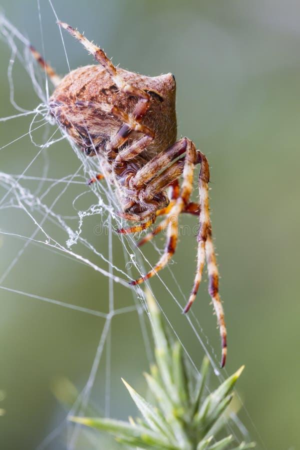 Orb som väver spindeln (Araneusangulatusen) arkivfoto