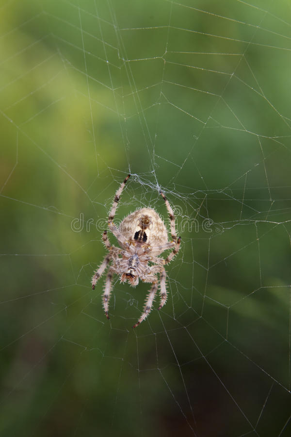 Download Orb Spider On Web Against Lush Green Foliage Stock Photo - Image: 10764240
