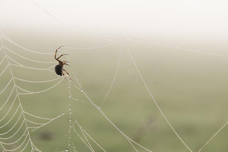 Orb-väva spindeln (Araneusdiadematus) på en rengöringsduk arkivfoto
