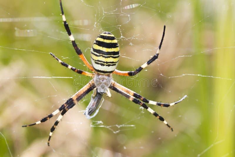 Orb-väva spindeln (Argiopebruennichien) royaltyfri foto