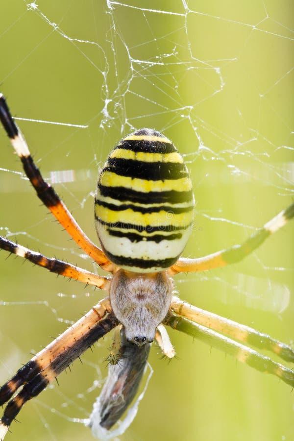 Orb-väva spindeln (Argiopebruennichien) royaltyfri bild