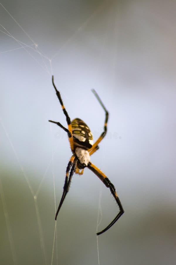 Orb Weaver Garden Spider royaltyfria bilder