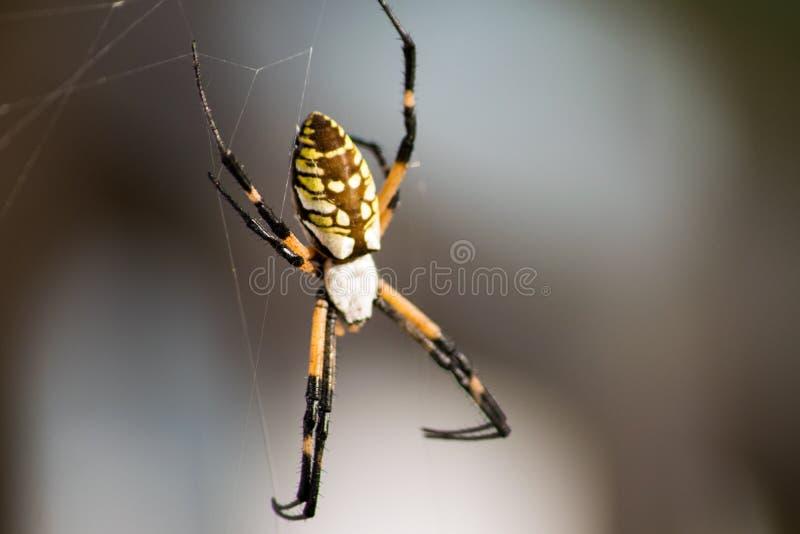 Orb Weaver Garden Spider arkivbilder
