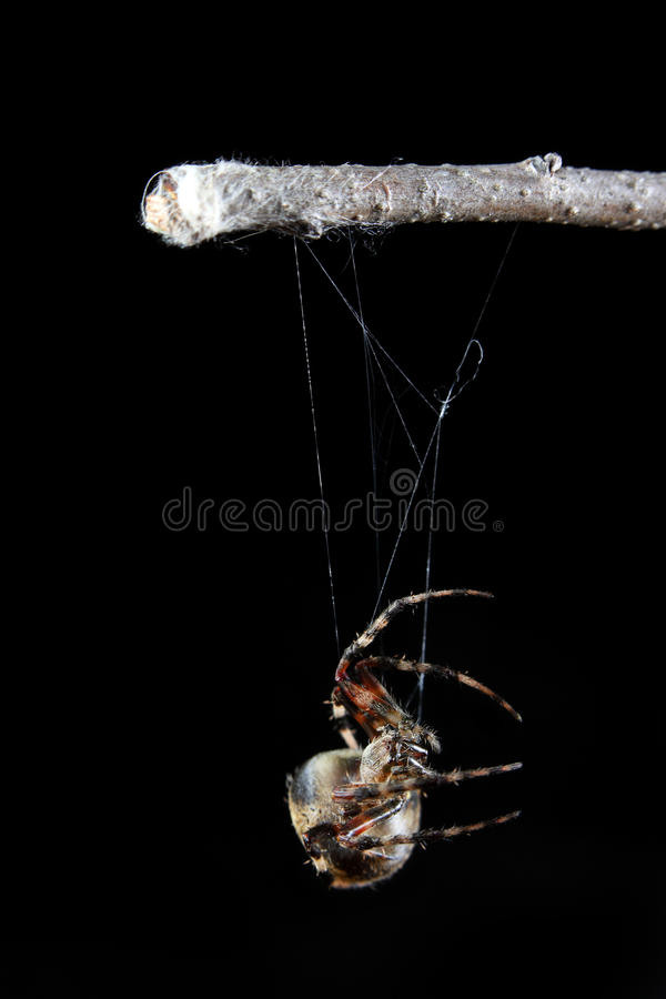 Orb Weaver Spider. A macro shot of a orb weaver spider beginning to spin his web royalty free stock image