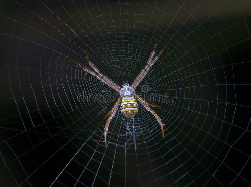 Orb Weaver Spider. Closeup of orb weaver spider with the detail of the web stock photography