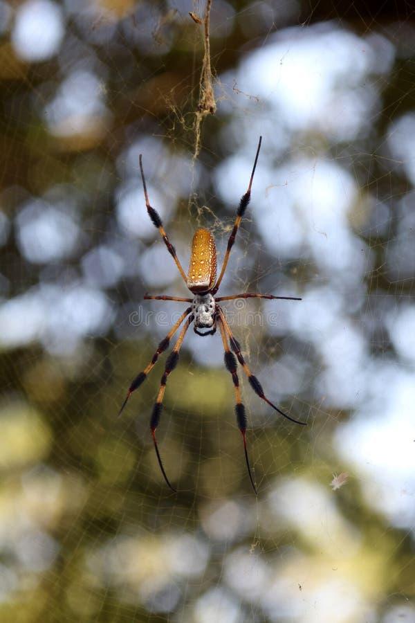 Orb Weaver Spider arkivbilder