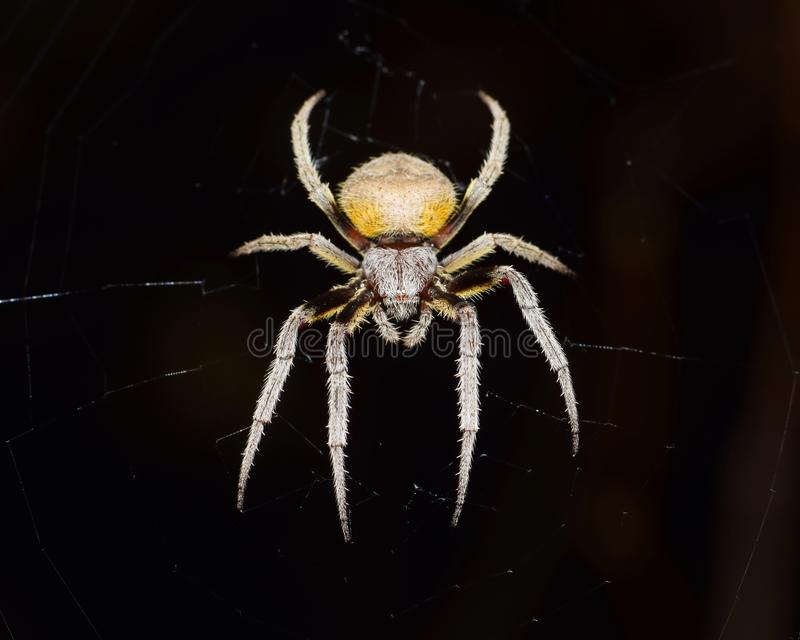 Orb weaver spider on a black background. Orb Weaver spider waiting for prey in its web at night with a black background royalty free stock images