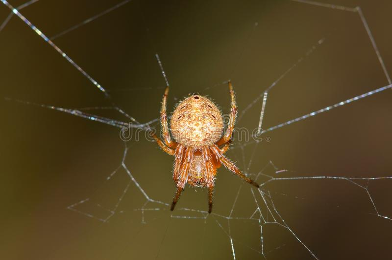 Orb Weaver spider centered in its web. A macro image of an Orb Weaver spider hanging upside down in the center of its damaged web with a smooth brown background stock image