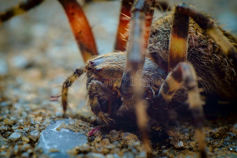 Orb Weaver Spider. Extreme closeup macro hairy orb weaver spider royalty free stock photos