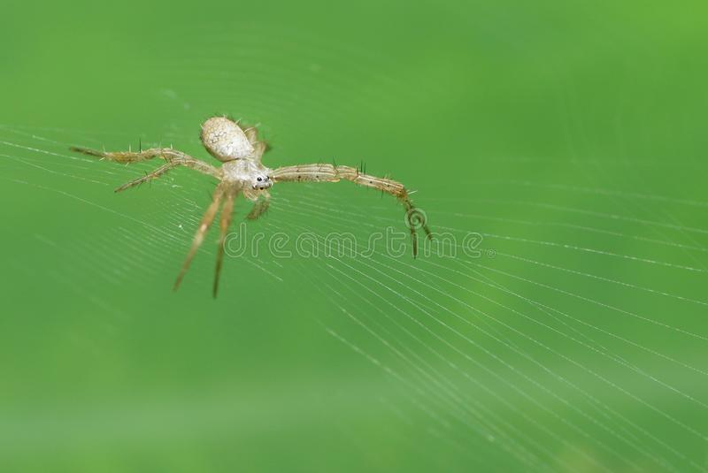 Orb Weaver Spider on its web. An orb weaver spider waiting for prey on its net. The web is constructed on a green leaf stock photo