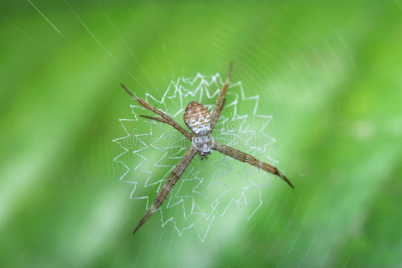 Orb Weaver Spider. With its woven web with green background royalty free stock images