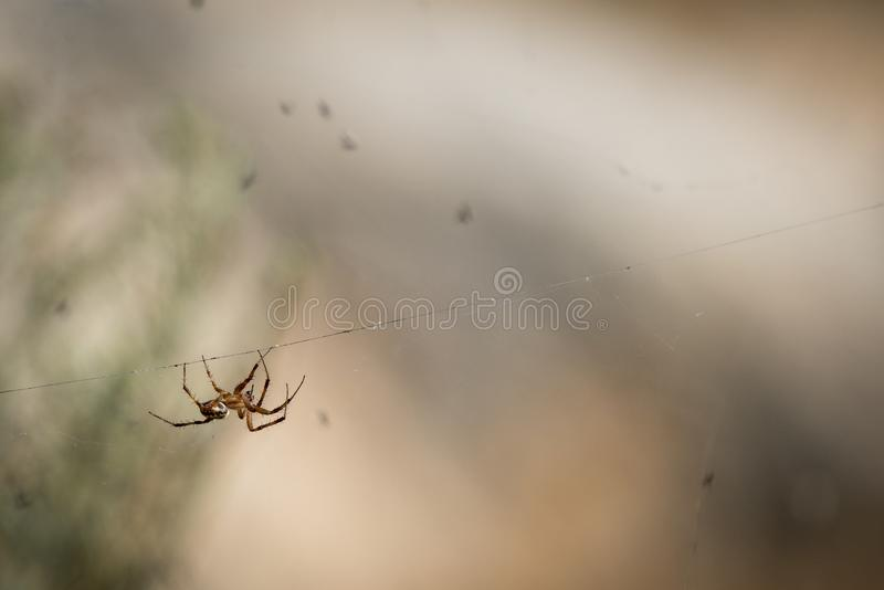 Orb Weaver Spider med kryp arkivbilder