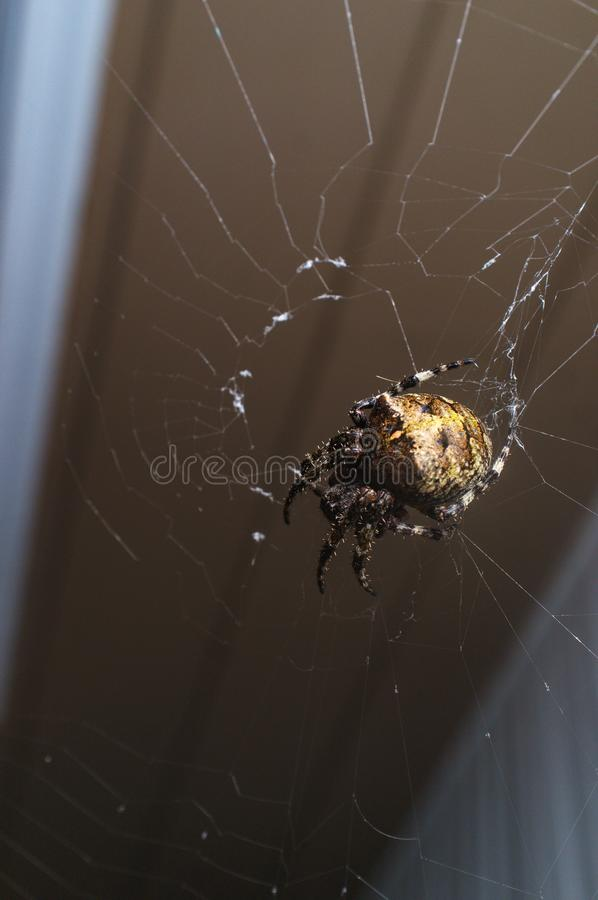Orb Weaver Spider Night. Macro orb weaver spider out on with web for cool summer night stock photos