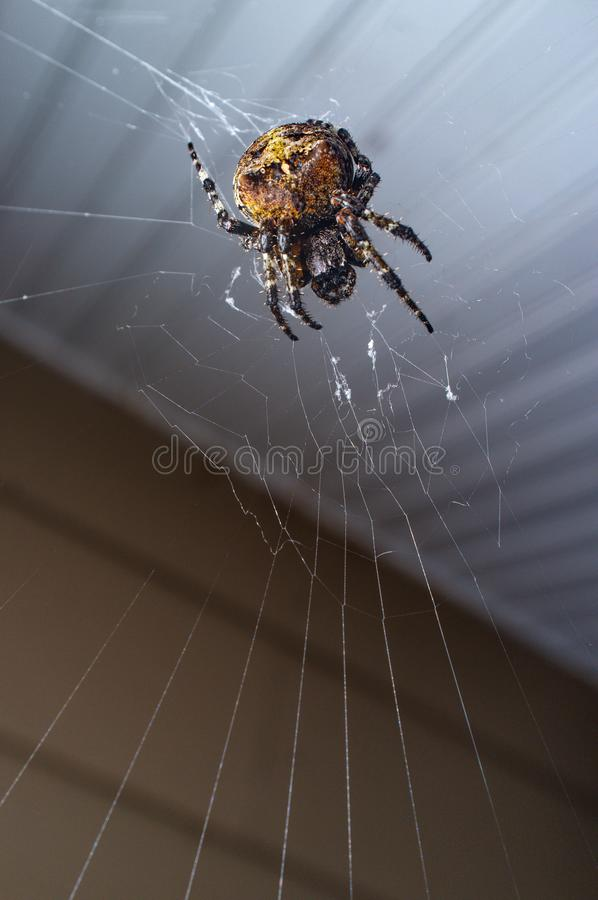 Orb Weaver Spider Night. Macro orb weaver spider out on with web for cool summer night stock images