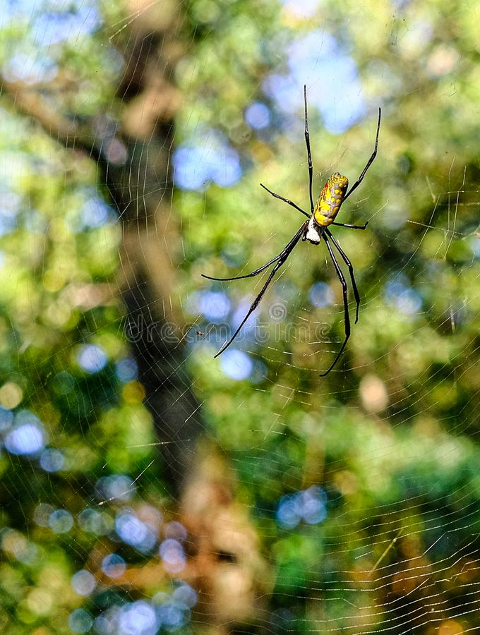 Orb Weaver Spider. Across a Trail in the Forest royalty free stock photography