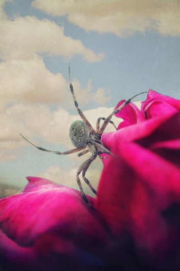 Orb Weaver Spider på en röd ros arkivfoto