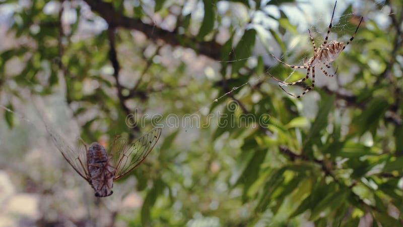 Orb Weaver Spider And Prey arkivfoton