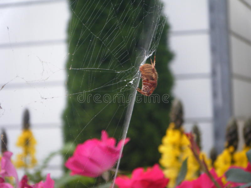 Orb-weaver spider spinning its web. In a flower garden in late autumn stock photo