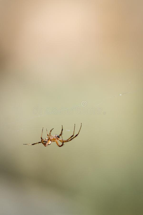 Orb Weaver Spider Traveling Her Web royalty-vrije stock afbeelding