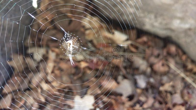 Orb Weaver Spider Waiting on Web. An orb weaver spider waiting in the middle of it`s web stock image