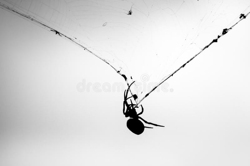 Orb-Weaver Spider on Web in Front of Storm Clouds. Female Golden Orb-Weaver Spider (Nephila edulis) clinging to web with captured flies in front of grey storm royalty free stock photos