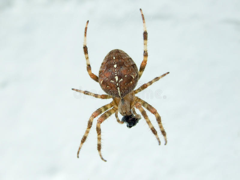 An Orb Weaver spider stock photo