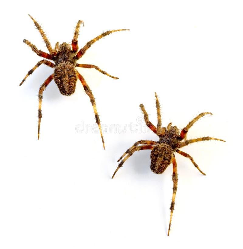 Orb Weaver Spiders. (Neoscona crucifera) on white background royalty free stock photography