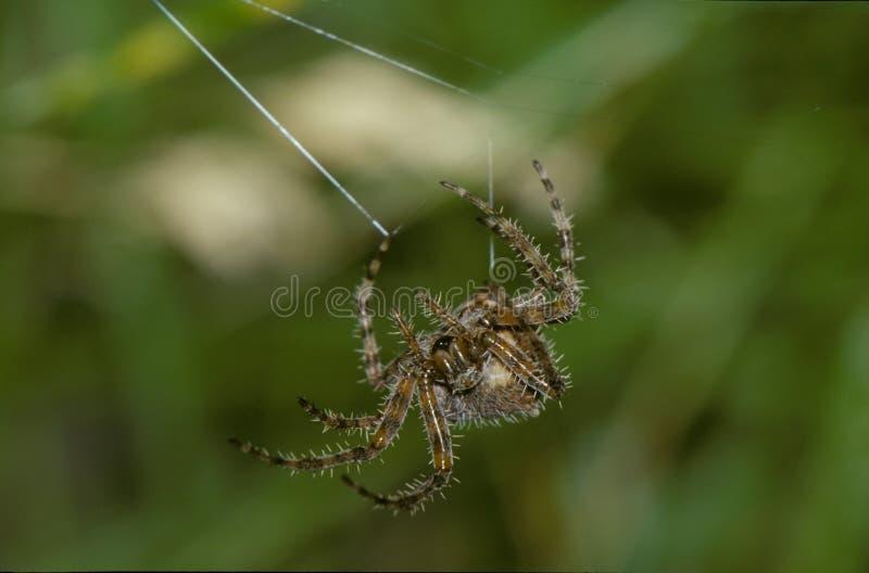 Orb Weaver-spindel och webb fotografering för bildbyråer