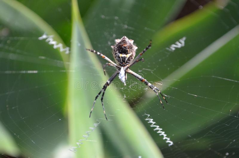 spider Orb weaver in web stock photos