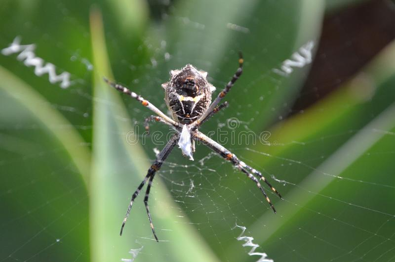 Spider Orb weaver in web stock photography