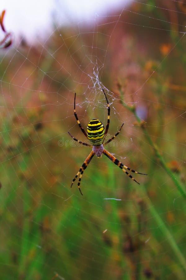 Argiope bruennichi spider waiting for prey. Spider in the web. An orb-web spider on nature background. Argiope bruennichi spider. Spider in the web. Wasp spider stock photo