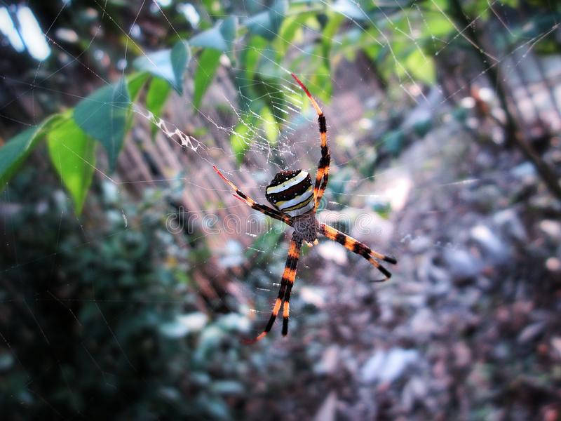 The orb Web Spider`s web sphere. All out of nowhere you encounter such a beauty and just cannot resist without a click, this orb web spider is sitting idle for stock image