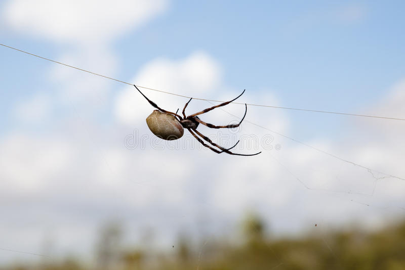 Orbe de seda de oro Weaver Spider - Pilbara - Australia imagen de archivo