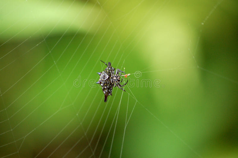 Orbe espinoso Weaver Spider en el web en la selva tropical de Borneo imágenes de archivo libres de regalías