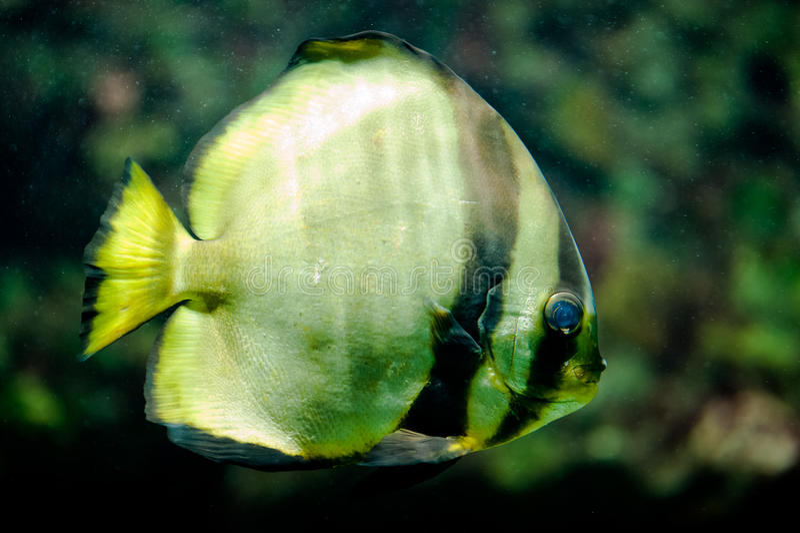 Orbicular Batfish Royalty Free Stock Photography