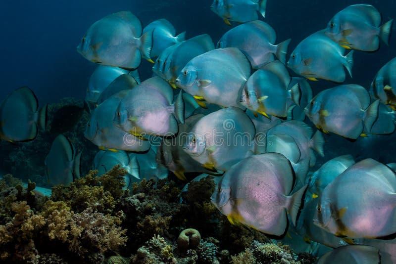 Orbicular spadefish Platax orbicularis pływać zdjęcia stock