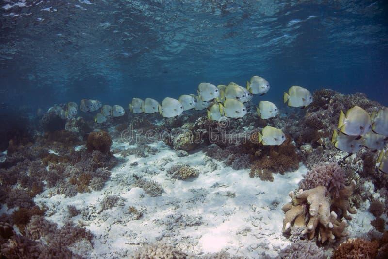Orbicularis σφαιρικό Batfish Platax σε Sipadan στοκ φωτογραφίες