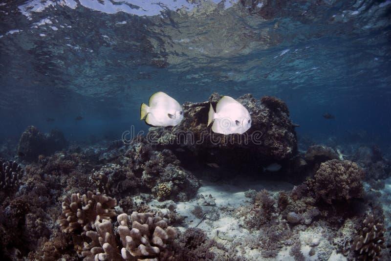 Orbicularis σφαιρικό Batfish Platax σε Sipadan στοκ εικόνα