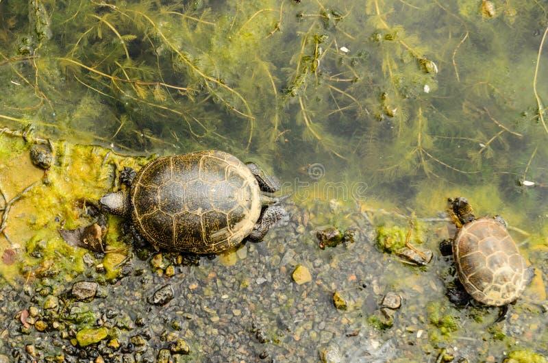 Orbicularis χελωνών emys που στηρίζονται στο riverbank στοκ εικόνα με δικαίωμα ελεύθερης χρήσης