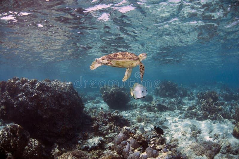 Orbicularis χελώνα σφαιρικού Batfish Platax και πράσινης θάλασσας σε Sipadan στοκ φωτογραφία