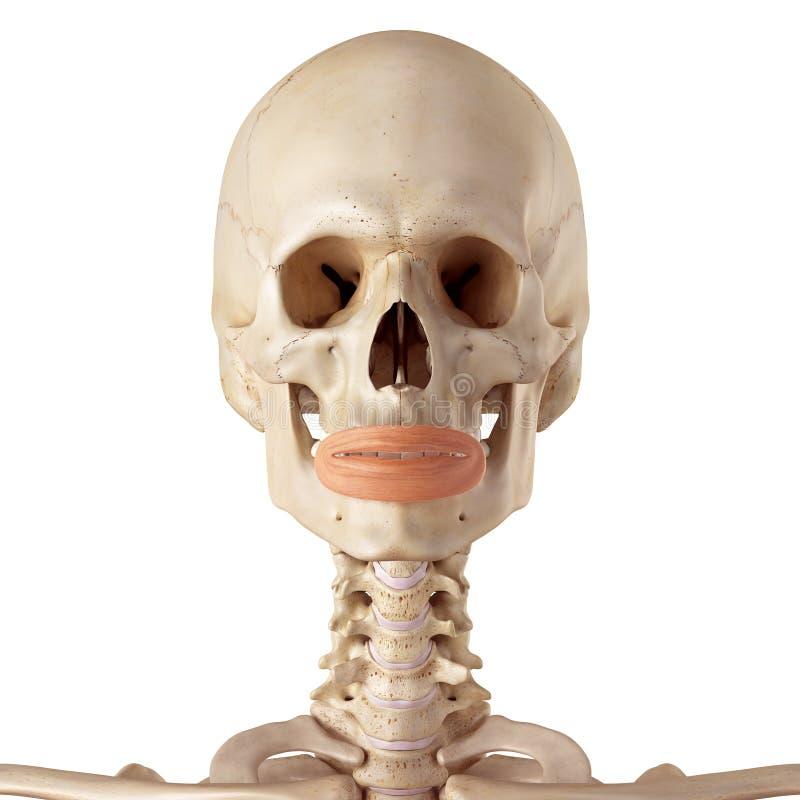 Tolle Orbicularis Oris Ideen - Menschliche Anatomie Bilder ...