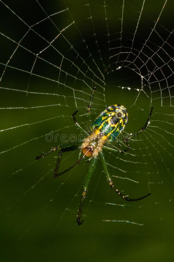 Orbweaver spider building its web. A n Orchard Orbweaver spider adds a segment to its web stock photos