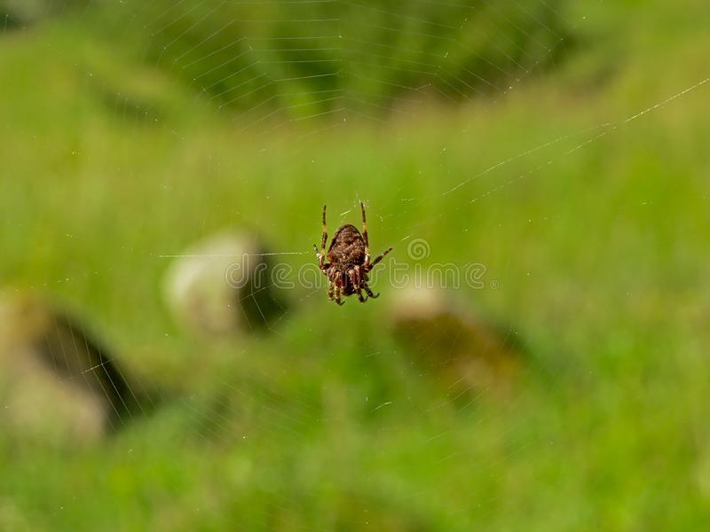Orbweaver spider sitting in the center f it`s web stock images