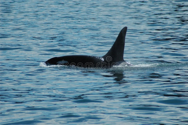 Download Orca surfacing stock image. Image of mammal, cetacea, animals - 210609