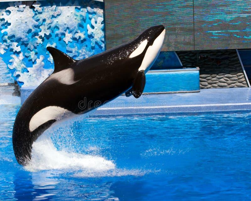 Orca imagem de stock royalty free