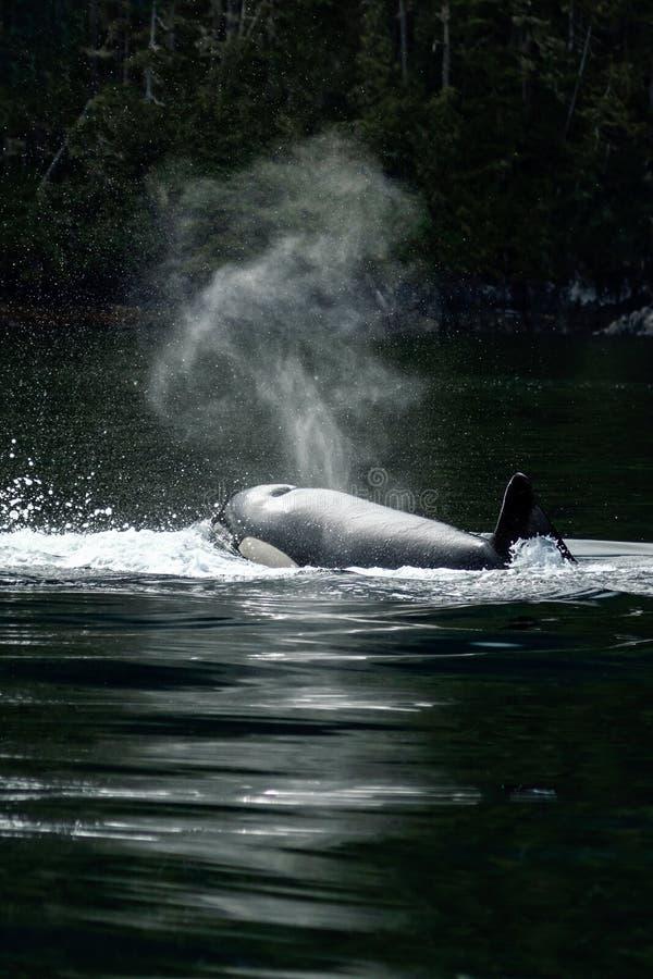 Orca dell'orca che viene su per il respiro fotografia stock libera da diritti