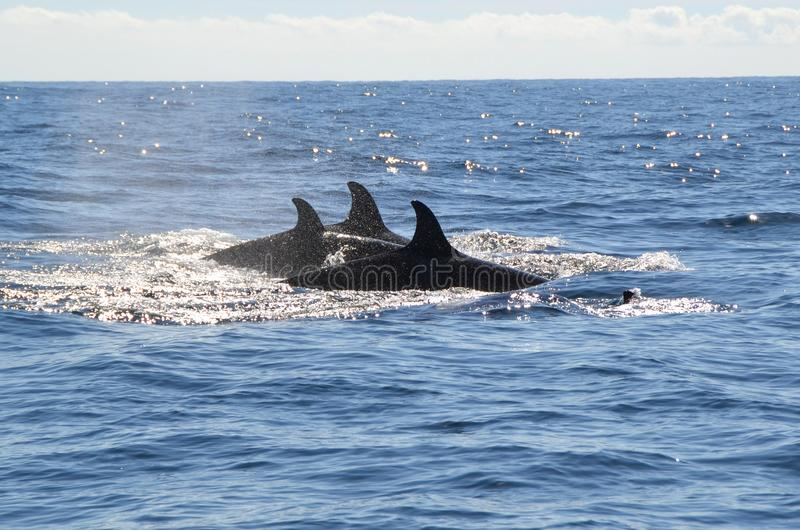 Orca dorsal Fins. In the middle of the bearing sea royalty free stock image
