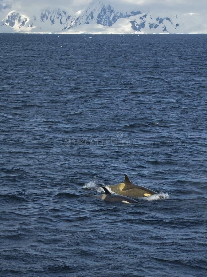 Orca e cucciolo della madre in Antartide fotografia stock