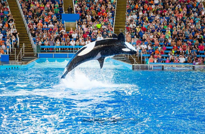 Orca em Seaworld fotografia de stock